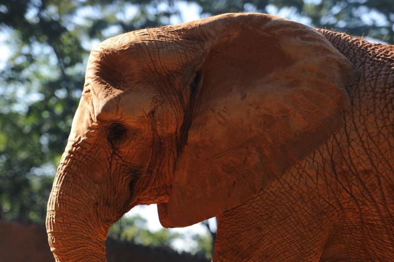 O elefante africano pisou no bloco de gelo para pegar as frutas no seu interior:imagem 5