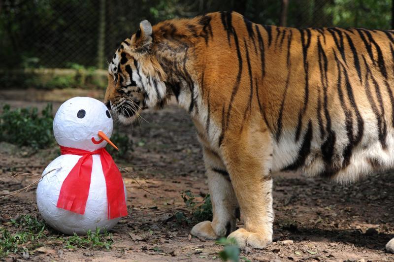 O tigre siberiano cheirou o boneco de papel :imagem 2