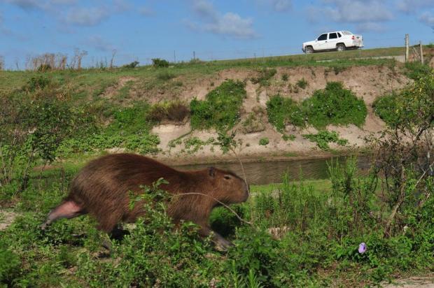 Lombadas e tela instaladas na Estação Ecológica do Taim tentam evitar mortes de animais Nauro Júnior/Agencia RBS