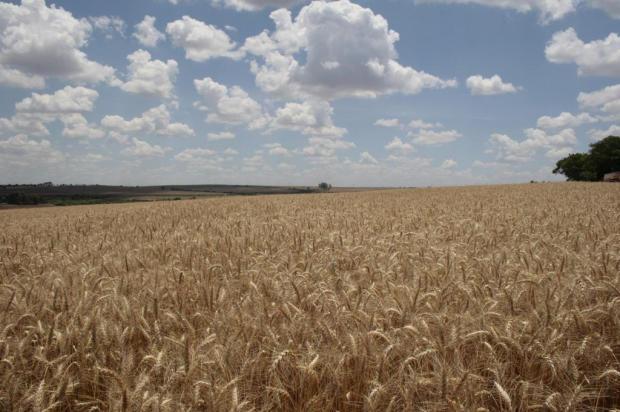 Gaúchos devem ampliar área de cultivo do trigo para compensar prejuízos com a estiagem Rogério Sartori/Especial