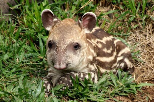 Nome de filhote de anta nascido no zoo de Sapucaia do Sul será escolhido pelo público Divulgação/Fundação Zoobotânica do Rio Grande do Sul