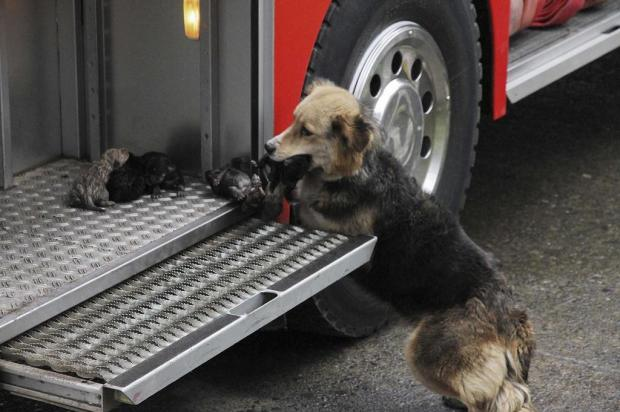 Cadela chilena resgata filhotes de incêndio  Jose Monsalve,Diario El Austral de La Araucaria/AP
