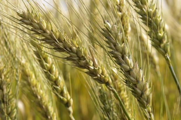 Conab aponta recuperação na produção de trigo na safra 2013/2014 no Rio Grande do Sul Sirli Freitas/Agencia RBS