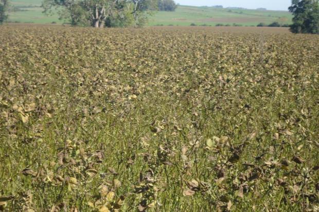 Anomalia na soja preocupa produtores Lauro Springer/Divulgação