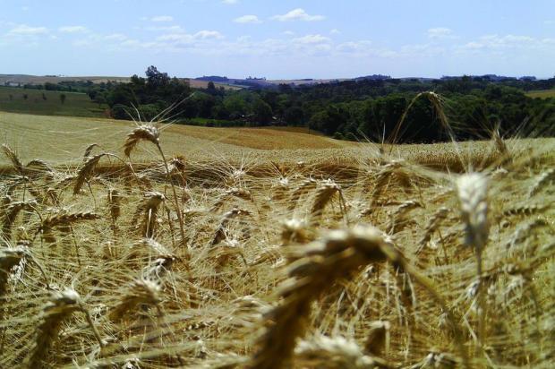Descobertos genes que protegem contra ferrugem negra do trigo Alderi Bertuzzi/Agencia RBS