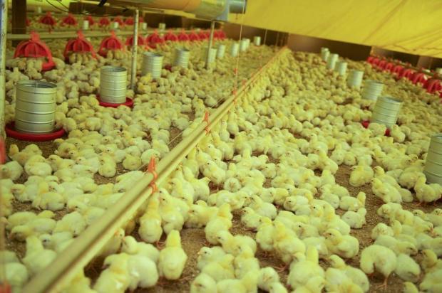 Alta do dólar ajuda a ampliar receita dos negócios dos produtores de frango Lidiane Mallmann/Especial