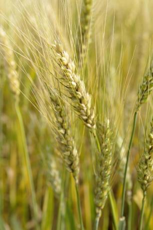 Produtores de trigo já colhem e vendem o grão no Estado Sirli Freitas/Agencia RBS