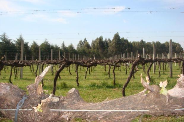 Setor vitivinícola projeta safra de uva de 700 milhões de toneladas para 2014 Campos de Cima da Serra/Divulgação