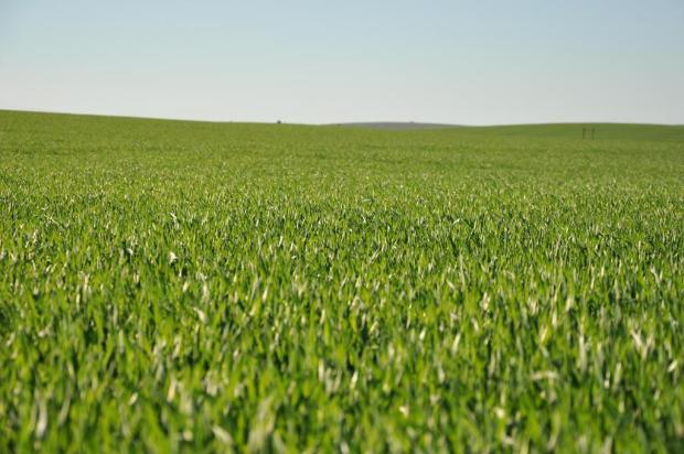 Conab estima crescimento de 32,1% na safra de trigo no RS Luis Iarcheski/Especial