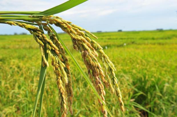 Cerimônia de início de plantio do arroz será em área especial no Litoral Norte Nauro Júnior/Agencia RBS