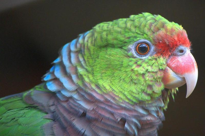 O papagaio-de-peito-roxo localiza-se nas florestas com araucárias, no norte e no nordeste do Estado:imagem 9