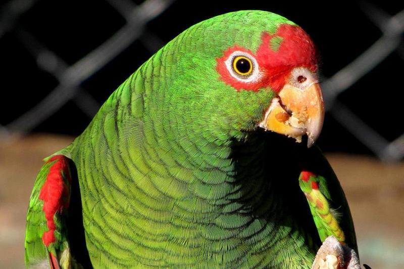 O papagaio-de-peito-roxo está sob risco muito alto de extinção, com população de menos de 2,5 mil indivíduos:imagem 4