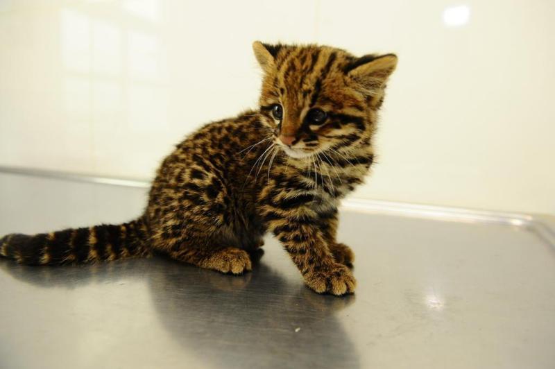 O gato-do-mato está em situação vulnerável. A espécie apresenta hábitos noturnos e solitários:imagem 3