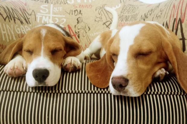 Beagles não serão devolvidos ao Instituto Royal, diz polícia Reprodução/Facebook