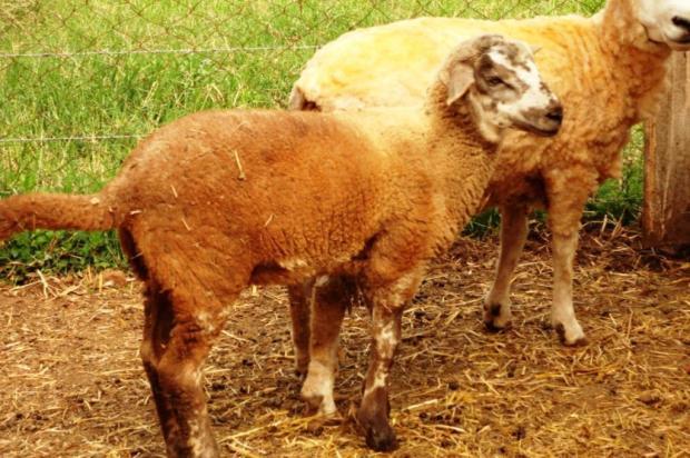 Ovelha nasce sem sexo e surpreende produtor no RS