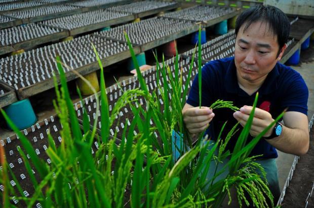 Cientistas descobrem gene que pode elevar produção de arroz AFP,IRRI/AFP,IRRI