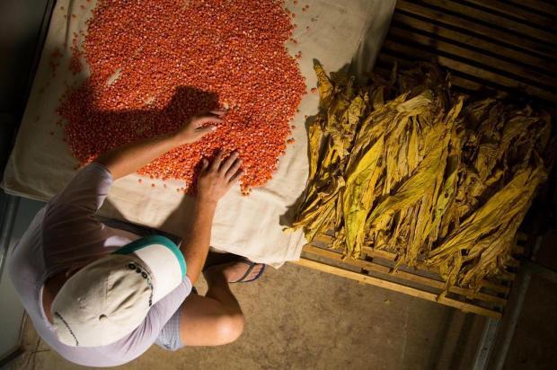 Diferentes culturas na mesma propriedade do fumicultor Cesar Lopes/Especial