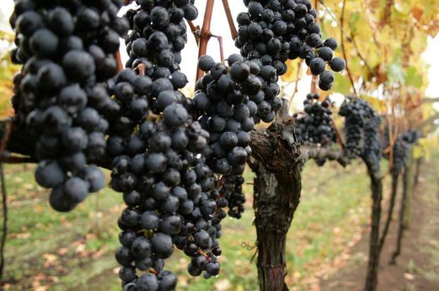 Cabernet, Merlot, Malbec: um manual para degustar os vinhos preferidos no RS Alvarélio Kurossu/Agencia RBS